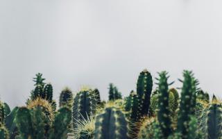 Посадка кактуса без корней