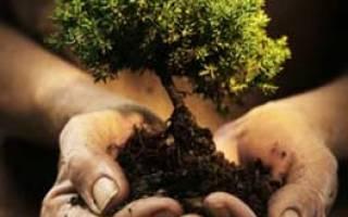 Пересадка дубков осенью