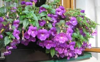 Цветок ахименес уход и размножение