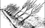 Прикопка саженцев осенью