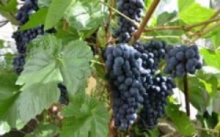 Как вырастить виноград в сибири из черенков