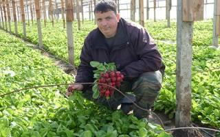 Выращивание редиса в теплице зимой на продажу