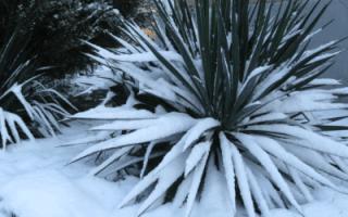 Укрытие юкки на зиму в подмосковье