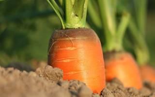 Почему не растет морковь на огороде