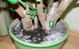 Плесень на почве комнатных растений как избавиться