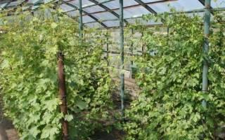 Виноград посадка и уход в подмосковье