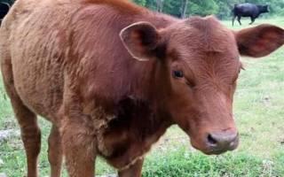 Как вырастить быка до 400 кг