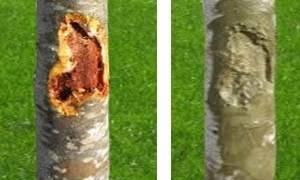 Как лечить кору плодовых деревьев