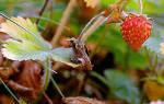 Как правильно садить клубнику осенью