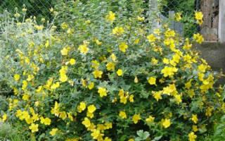 Зверобой садовый посадка и уход