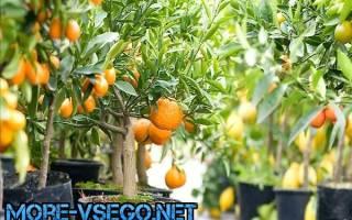 Как поливать мандариновое дерево комнатное растение