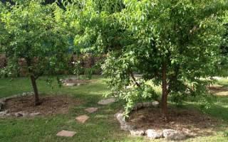 Какой сорт яблони лучше посадить в подмосковье