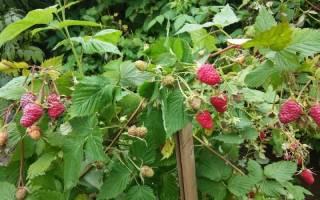 Что делать осенью с малиной в саду