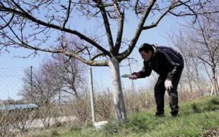 Чем белить деревья чтобы не смывалось