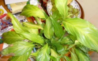 Спатифиллум пожелтели листья что делать