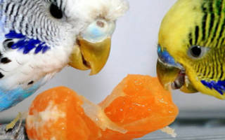 Чем питаются волнистые попугаи в домашних условиях