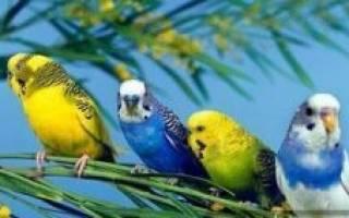 Чем питается волнистый попугайчик в домашних условиях
