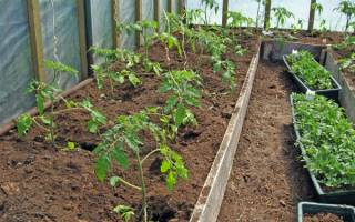 На каком расстоянии сажать помидоры в теплице