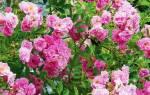 Роза вьющаяся посадка и уход