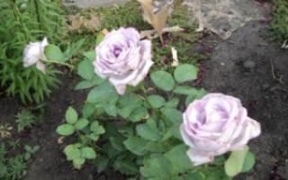 Как правильно выбрать розы для посадки
