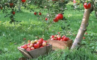 Когда лучше садить яблони весной или осенью