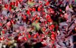 Где растет барбарис в России