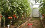 Какие сорта помидор самые урожайные для теплиц