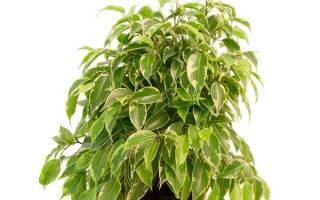 Фикус кинки сбрасывает листья что делать