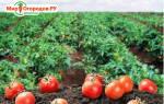 Самые вкусные сорта томатов для открытого грунта