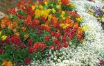 Цветы возле школы названия