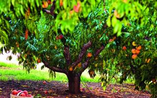 Когда обрезать персик осенью или весной