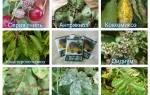 Опрыскивание плодовых деревьев осенью железным купоросом