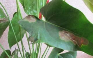 Антуриум коричневые пятна на листьях что делать