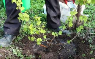 Когда сажать кусты смородины весной