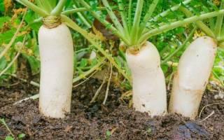 Как вырастить дайкон в открытом грунте