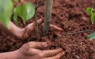 Когда лучше садить саженцы плодовых деревьев