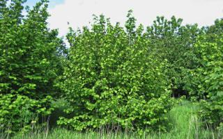 Лесной орех и фундук в чем разница