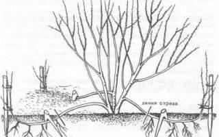 Обрезка войлочной вишни осенью