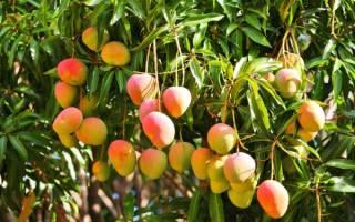 Манго фрукт как вырастить из косточки