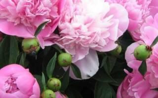 Подкормка пионов весной и летом