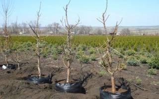 Когда пересаживать персик весной или осенью