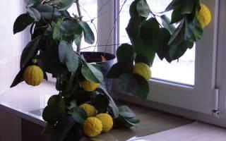 Как вырастить лимон дома на подоконнике
