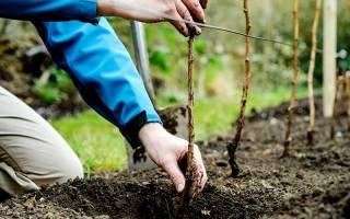 Правила посадки малины осенью