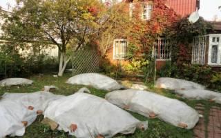 Укрытие плетистых роз на зиму в подмосковье