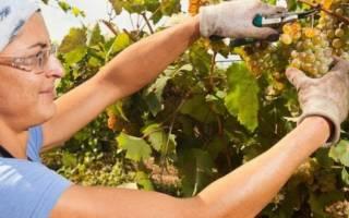 Чем обрабатывают виноград перед продажей