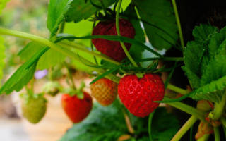 Обработка клубники осенью от вредителей и болезней
