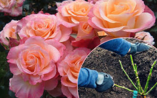 Расстояние между розами при посадке в грунт