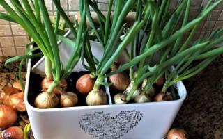 Как посадить лук на подоконнике в воде