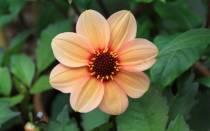 Цветы похожие на георгины как называются