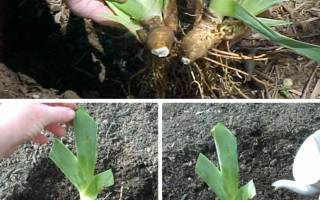 Когда пересаживать ирисы весной или осенью